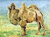 Bactrian Camel,Illustration