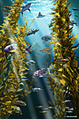 California Kelp Forest,Illustration
