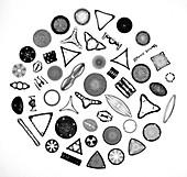 50 diatom species arranged