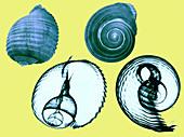 Tun shell,X-ray