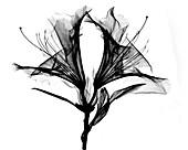 Azalea Flower X-ray