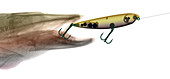 X-ray of Muskie & Lure