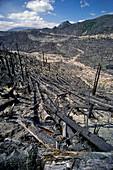 Fallen Trees,Mt. St. Helens