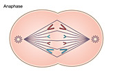 Anaphase of Mitosis,illustration