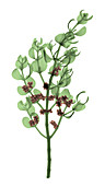 Pacific Mistletoe,Phoradendron villosum