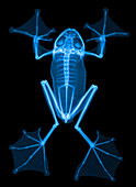 An X-Ray of a Flying Frog