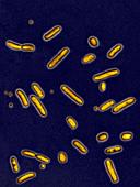 Pseudomonas aeruginosa bacteria,LM