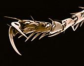 Cat Flea Claw,SEM