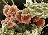 Staphylococcus aureus Bacteria,MRSA,SEM