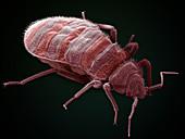 Bedbug,Cimex Lectularius,SEM