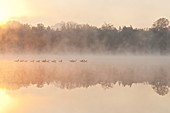 Geese in Sunrise and Fog,Lake Cassidy