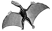 Pterodactyl,Extinct Flying Reptile