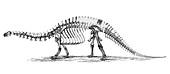 Apatosaurus excelsus,AKA Brontosaurus
