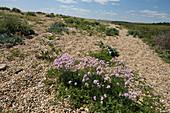 Vegetation on Chesil Beach,Dorset