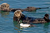 Goldeneye Duck with Sea Otters