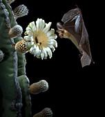 Pallid Bat Approaching Cactus Flower