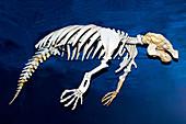 Florida Manatee Skeleton