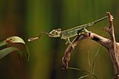 Veiled chameleon Catches Cricket