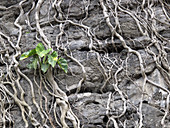 Vines and Roots on Lava Rock