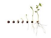 Sweet pea seed germination sequence