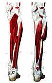 Leg muscles,19th Century illustration