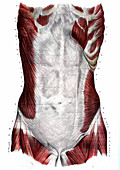 Abdominal muscles,19th C illustration