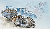 Habitat of Rhynconella,illustration