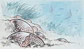 Habitat of Nummulite,illustration