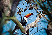 Toco toucan in a tree