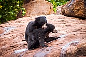 Sloth bears play-fighting