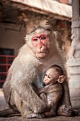 Bonnet macaque and baby