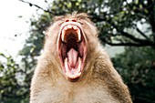 Bonnet macaque yawning
