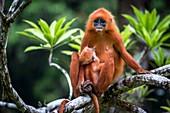 Red leaf monkey suckling