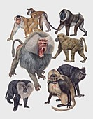 Old World monkeys,illustration
