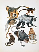 Primates,illustration