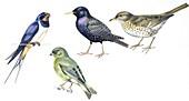Birds,illustration