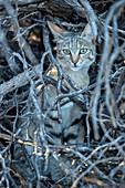 African Wildcat taking refuge
