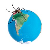 Mosquito on South America,illustration
