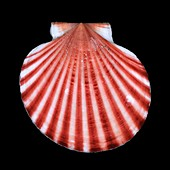 Red-ribbed scallop shell