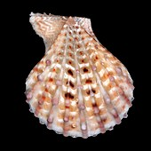 Little knobby scallop shell