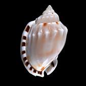 Heavy bonnet sea snail shell