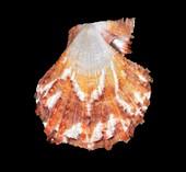 Chlamys squamatus scallop shell