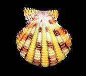 Cryptopecten speciosum scallop shell