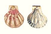 Scallop shell,illustration