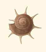 Yoka star turban sea snail shell