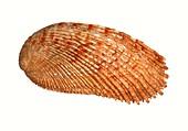 Elegant abalone shell