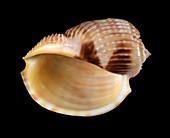 Ribbed harp snail shell
