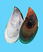 Asian green mussel shell