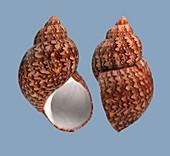 Phasionella ventricosa sea snail shell