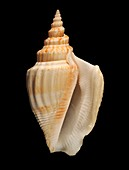 Pigeon conch shell